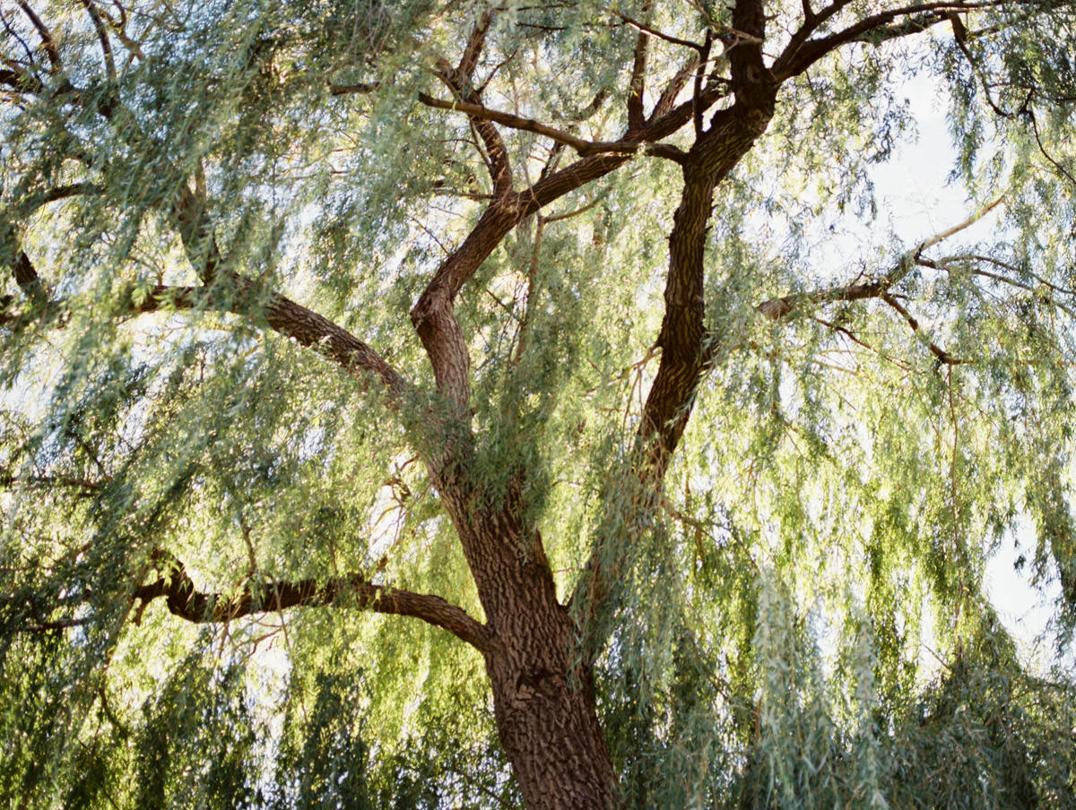 a tree at McMaster U